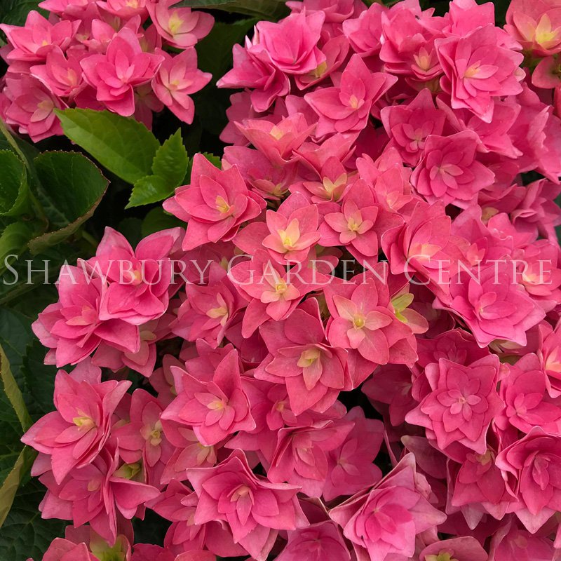 Picture of Hydrangea 'Royal Red Violet'