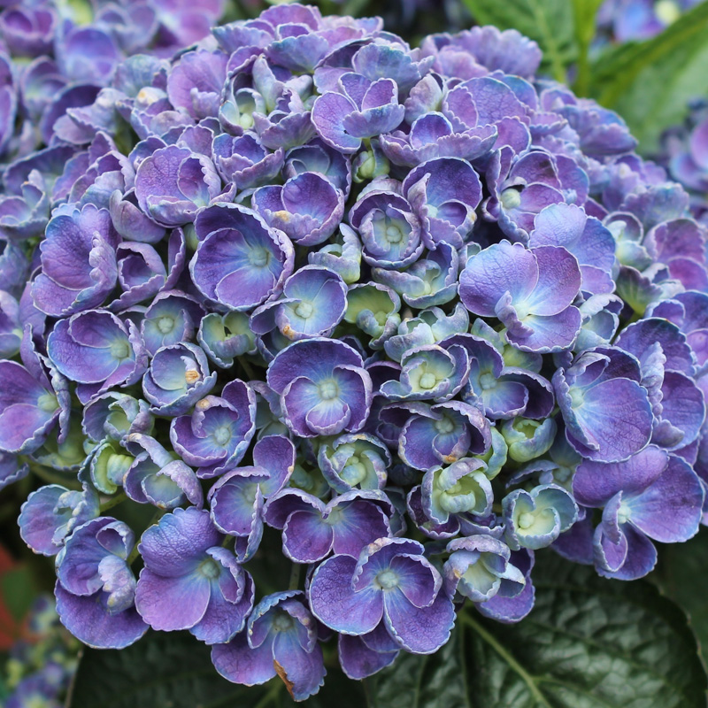 Picture of Hydrangea 'Hopcorn Blue'