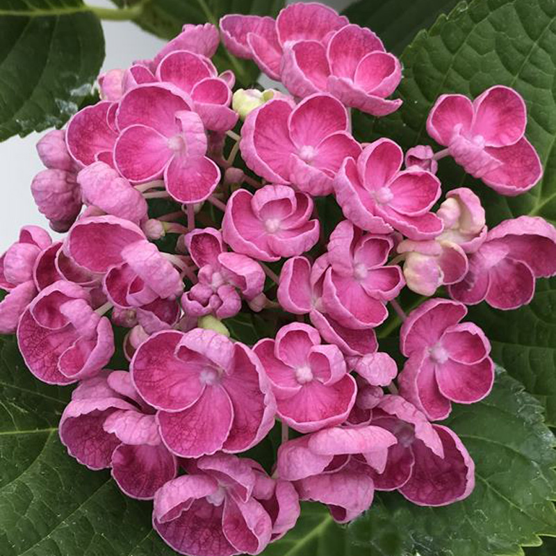 Picture of Hydrangea 'Hopcorn Pink'