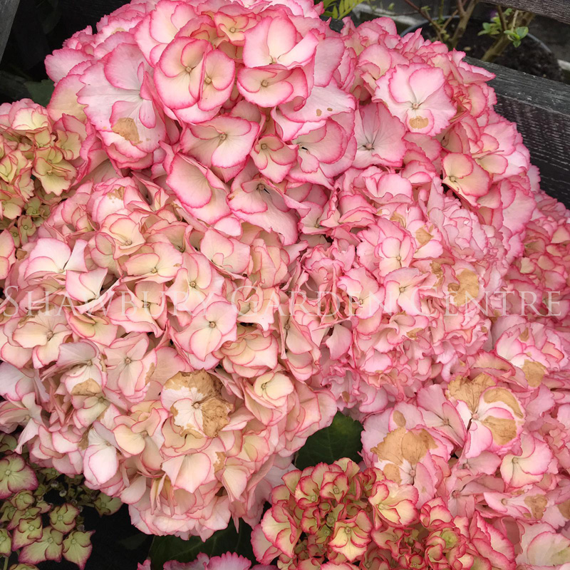 Picture of Hydrangea 'Chique'