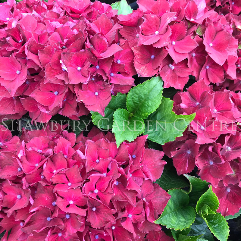 Picture of Hydrangea 'Hot Red Violet'