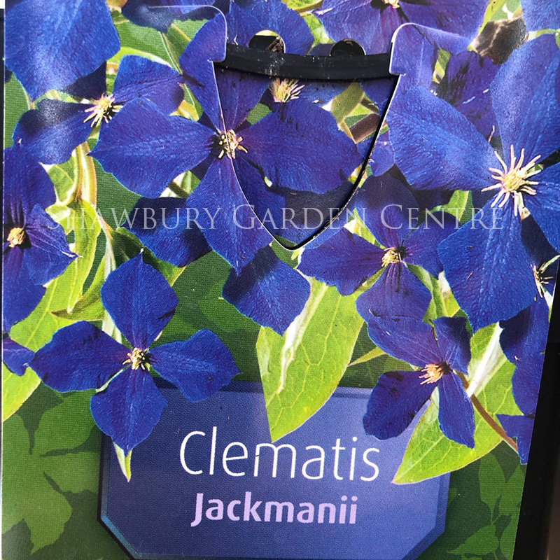 Picture of Clematis 'Jackmanii'
