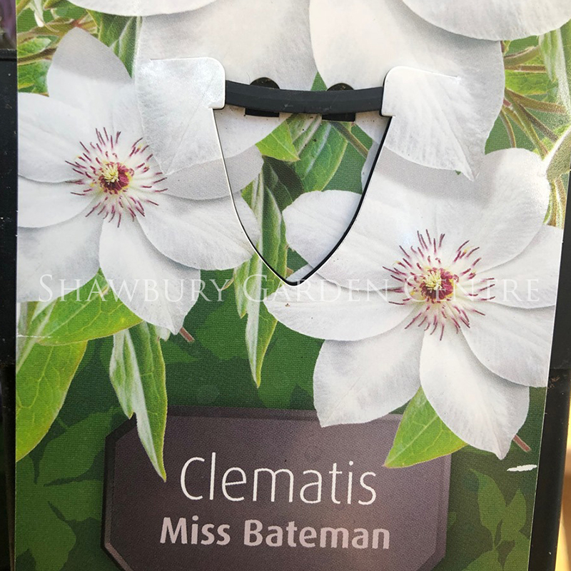 Picture of Clematis 'Miss Bateman'