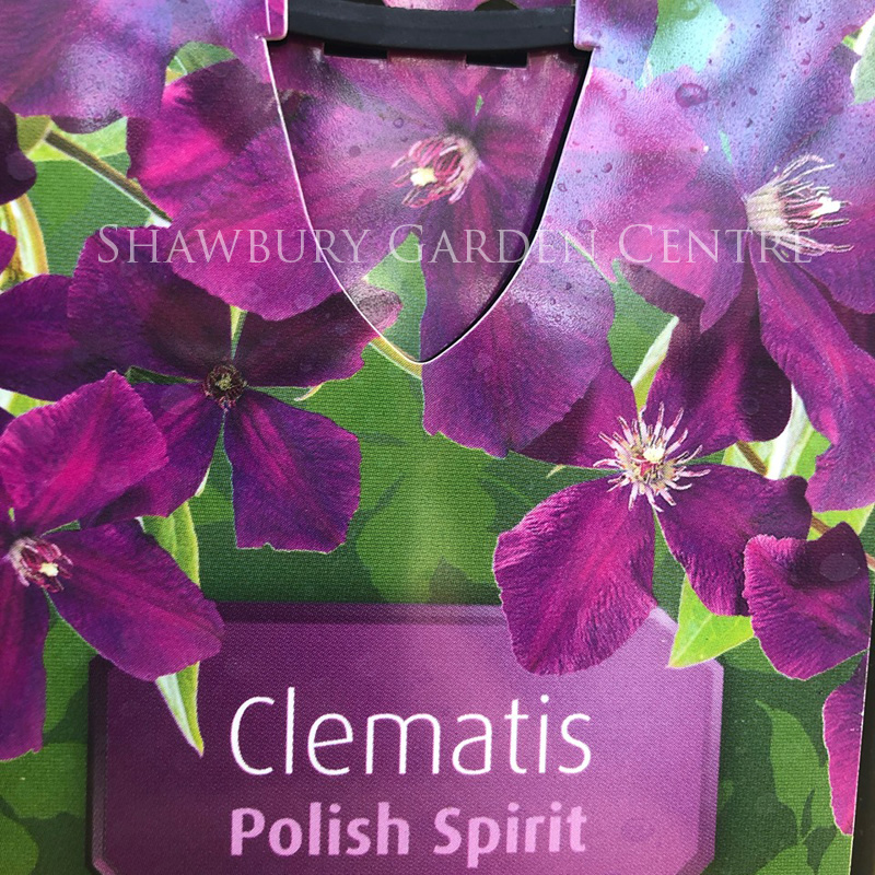 Picture of Clematis 'Polish Spirit'