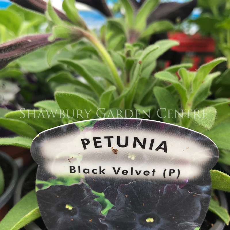 Picture of Petunia 'Black Velvet'