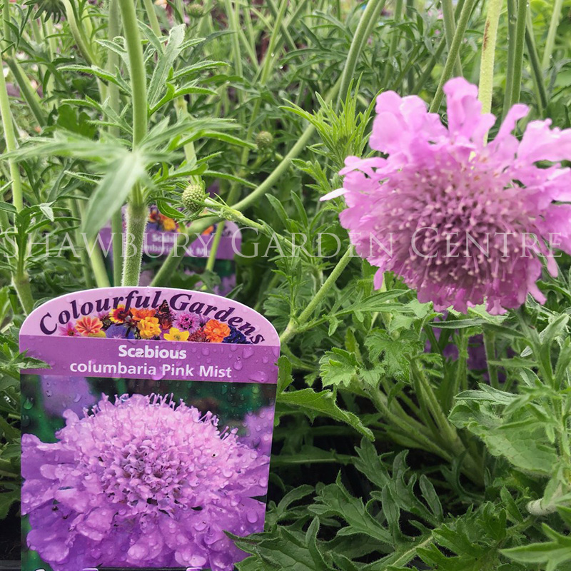 Picture of Scabious columbaria 'Pink Mist'