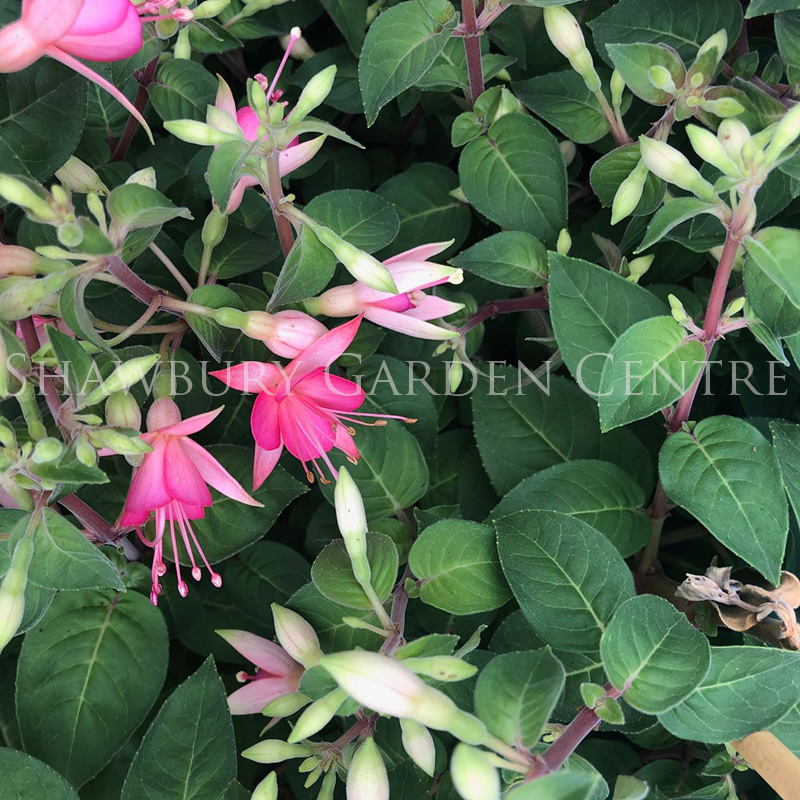 Picture of Fuchsia - Variety