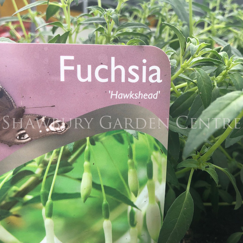 Picture of Fuchsia 'Hawkshead'