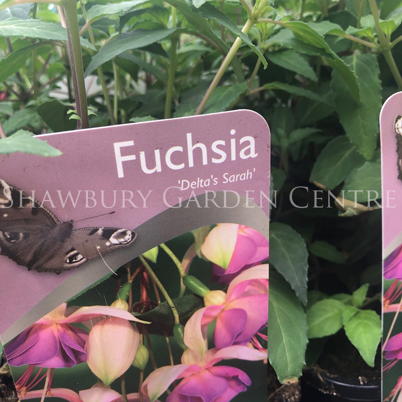Picture of Fuchsia 'Delta's Sarah'