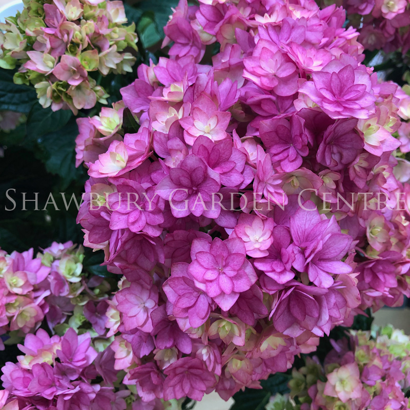 Picture of Hydrangea 'Together'