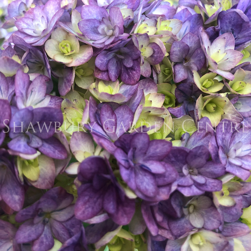 Picture of Hydrangea 'Together Blue'