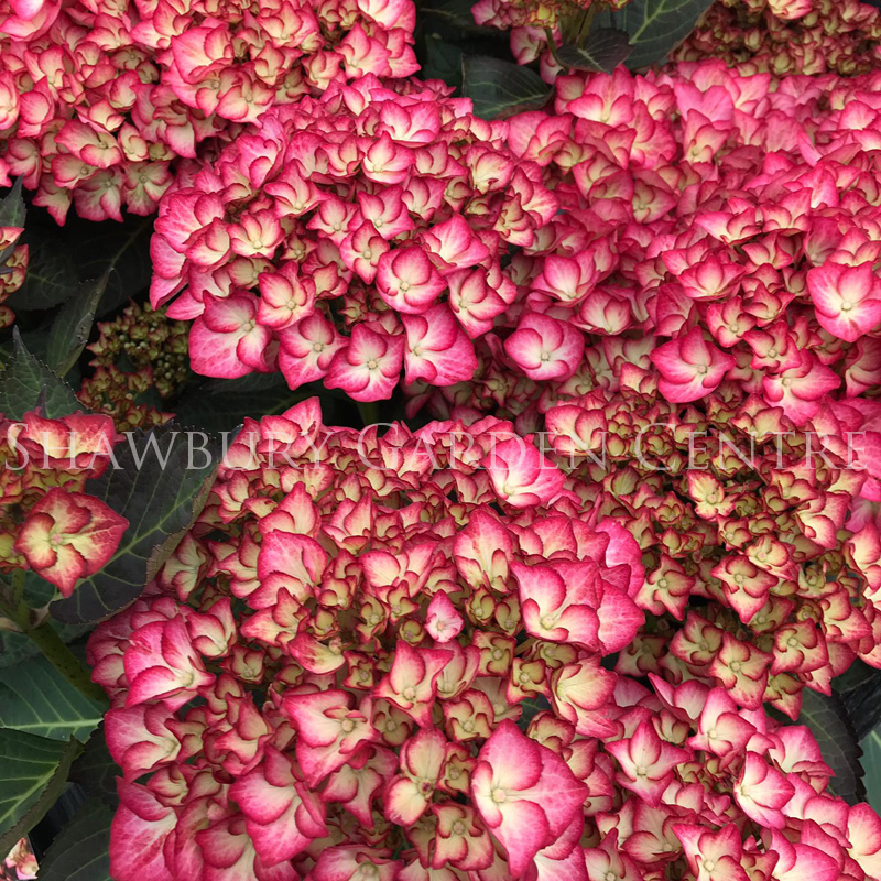 Picture of Hydrangea 'Adula Pink'