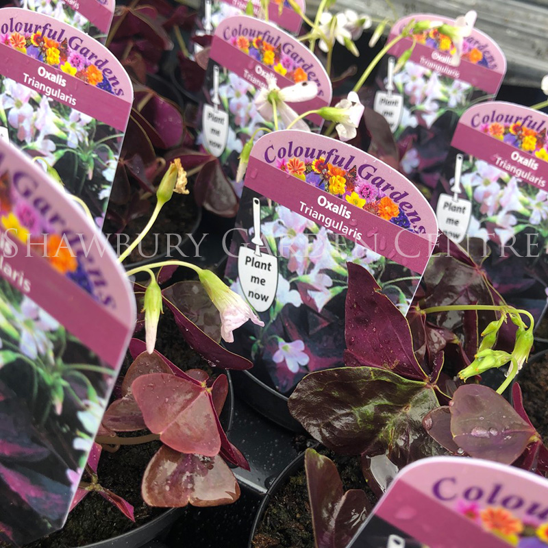 Picture of Oxalis 'triangularis'