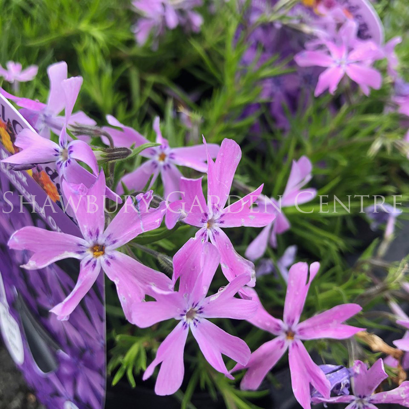 Picture of Phlox sub. 'Bedazzled Orchid'