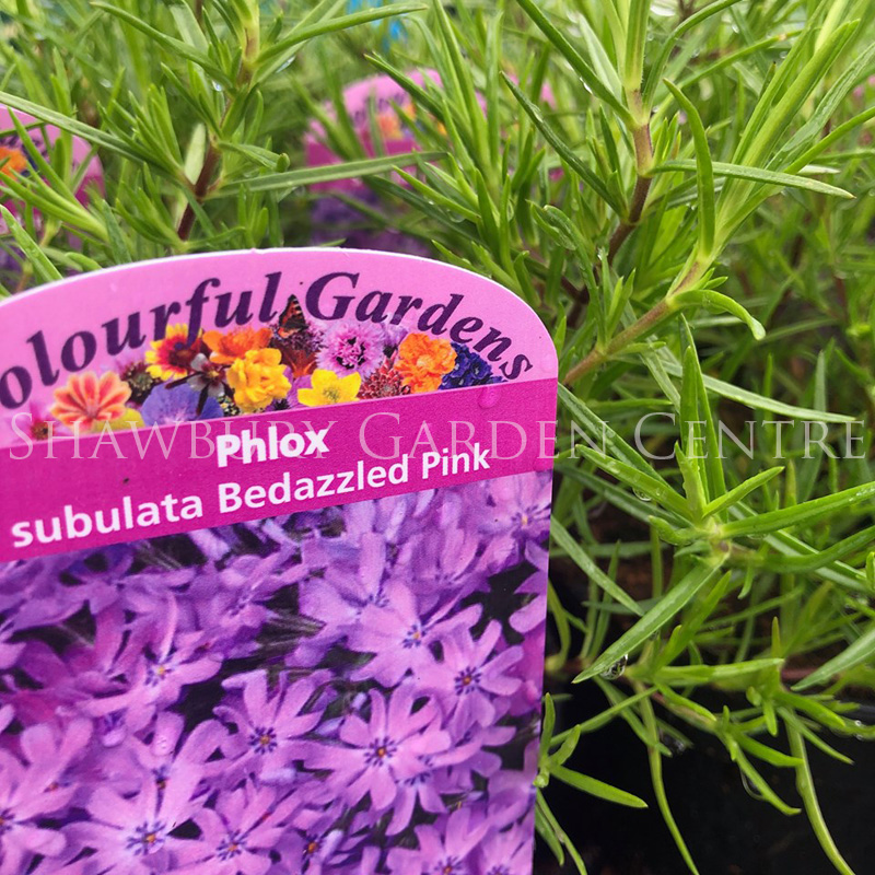 Picture of Phlox sub. 'Bedazzled Pink'