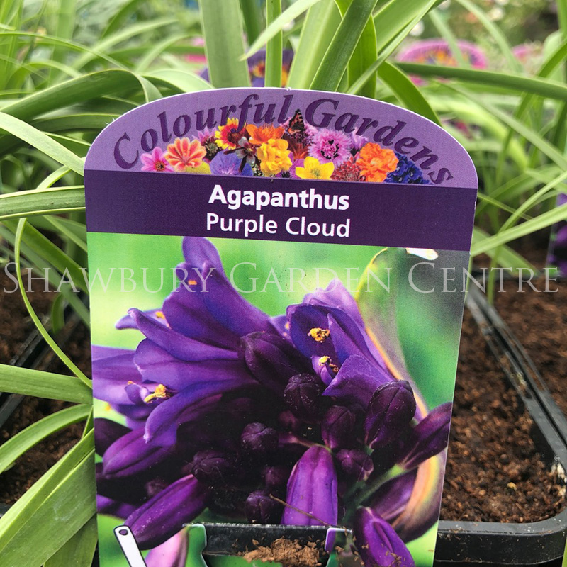 Picture of Agapanthus 'Purple Cloud'