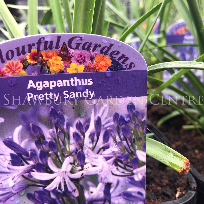 Picture of Agapanthus 'Pretty Sandy'