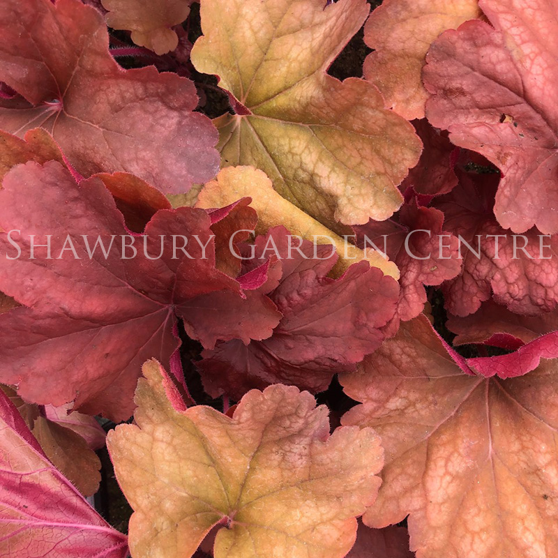 Picture of Heuchera 'Rio'
