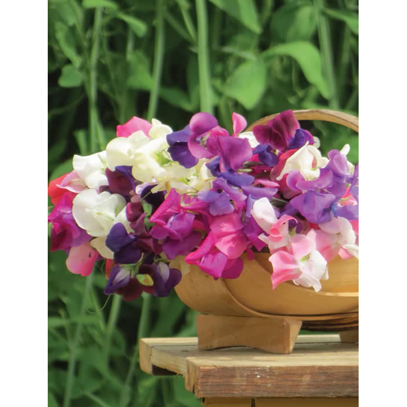 Picture of Unwins Sweet Pea 'Unwins Signature Blend' Seeds