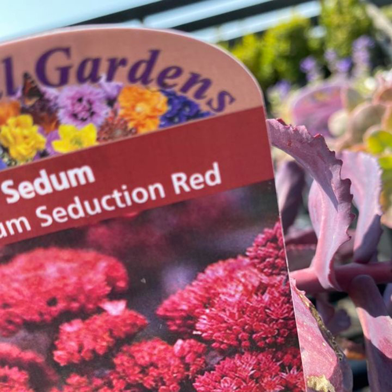 Picture of Sedum telephium 'Seduction Red'