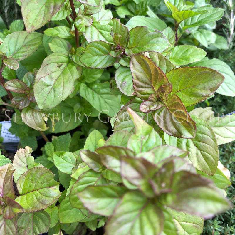 Picture of Orange Mint