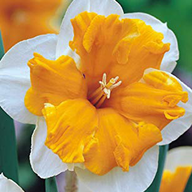 Picture of Pack of 4 Narcissus 'Orangery' Bulbs