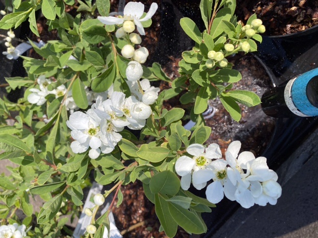 Picture of Exochorda x macrantha 'The Bride'