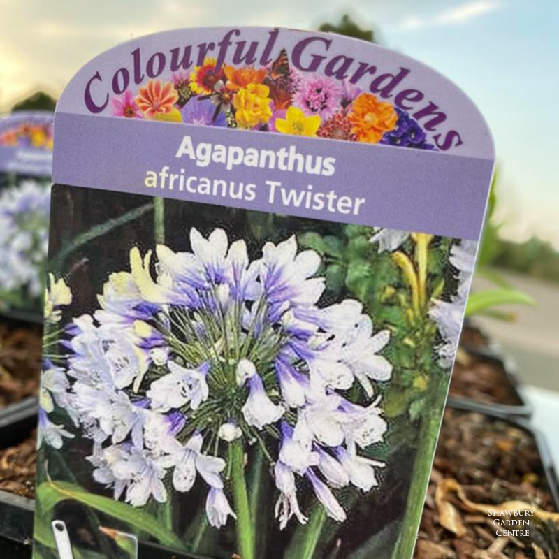 Picture of Agapanthus africanus 'Twister'