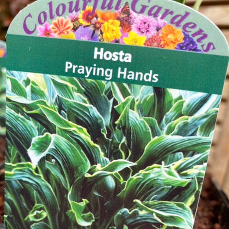 Picture of Hosta 'Praying Hands'