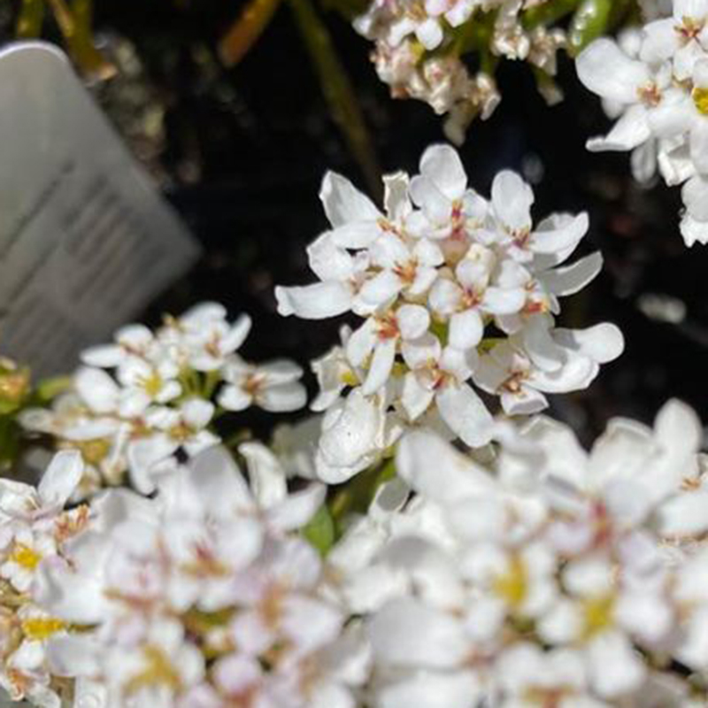 Picture of Iberis sempervivens 'Fischbeck'