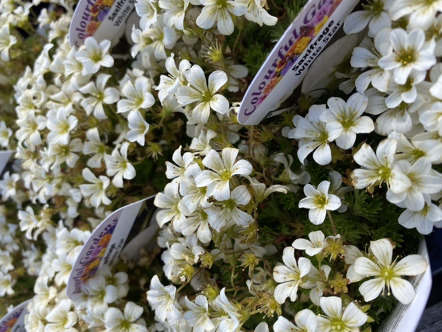 Picture of Saxifrage 'White Star'
