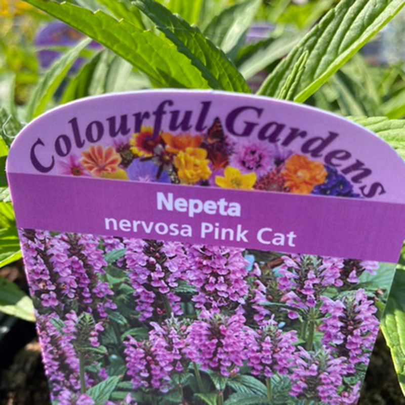 Picture of Nepeta 'Pink Cat'