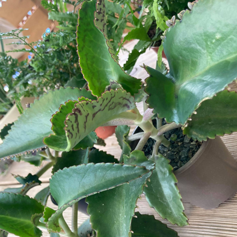 Picture of Kalanchoe laetivirens 'Mother of Thousands'