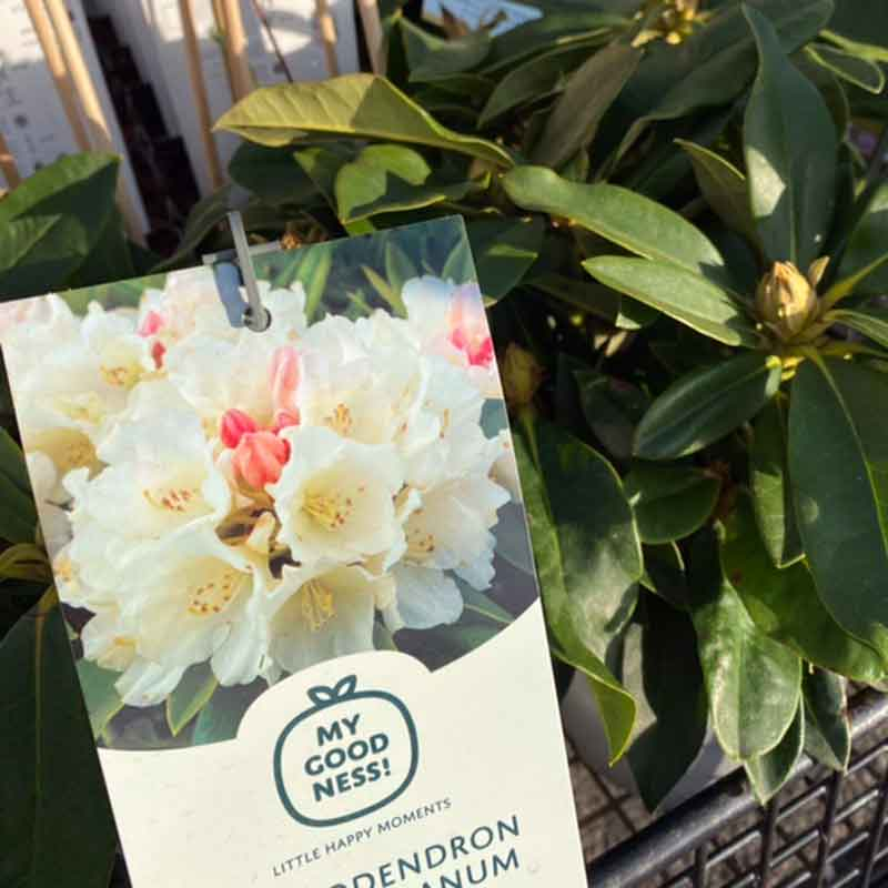 Picture of Rhododendron yakushimanum 'Golden Torch'