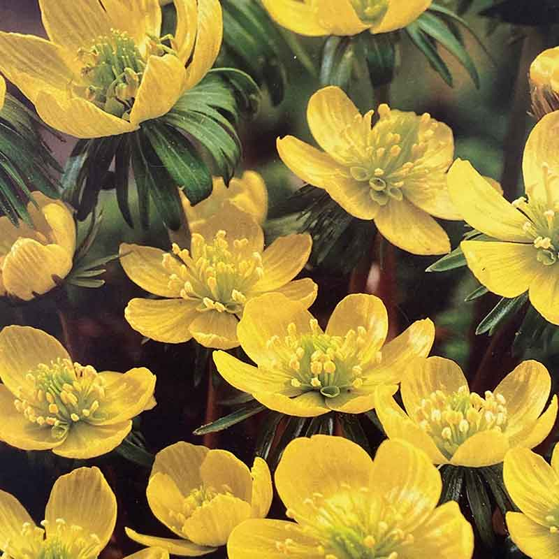 Picture of Eranthis hyemalis Bulbs