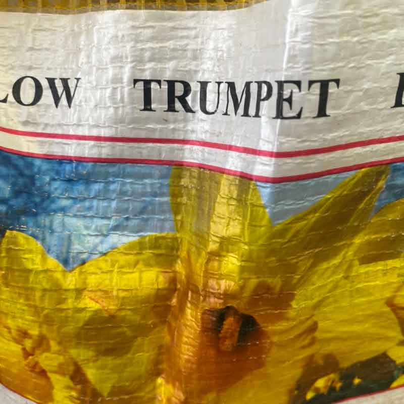 Picture of Daffodil YELLOW TRUMPET Bulbs