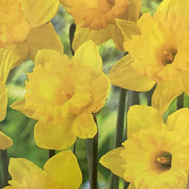 Picture of Miniature Narcissus Daffodil 'Marie Curie Diamond'