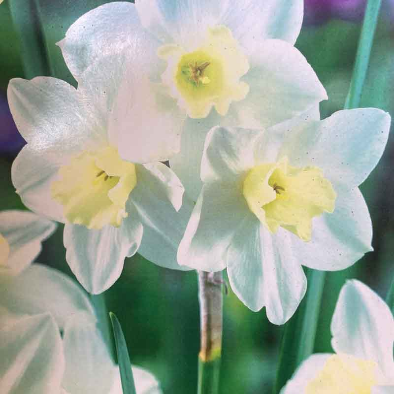 Picture of Narcissus Daffodil 'Pueblo' Bulbs