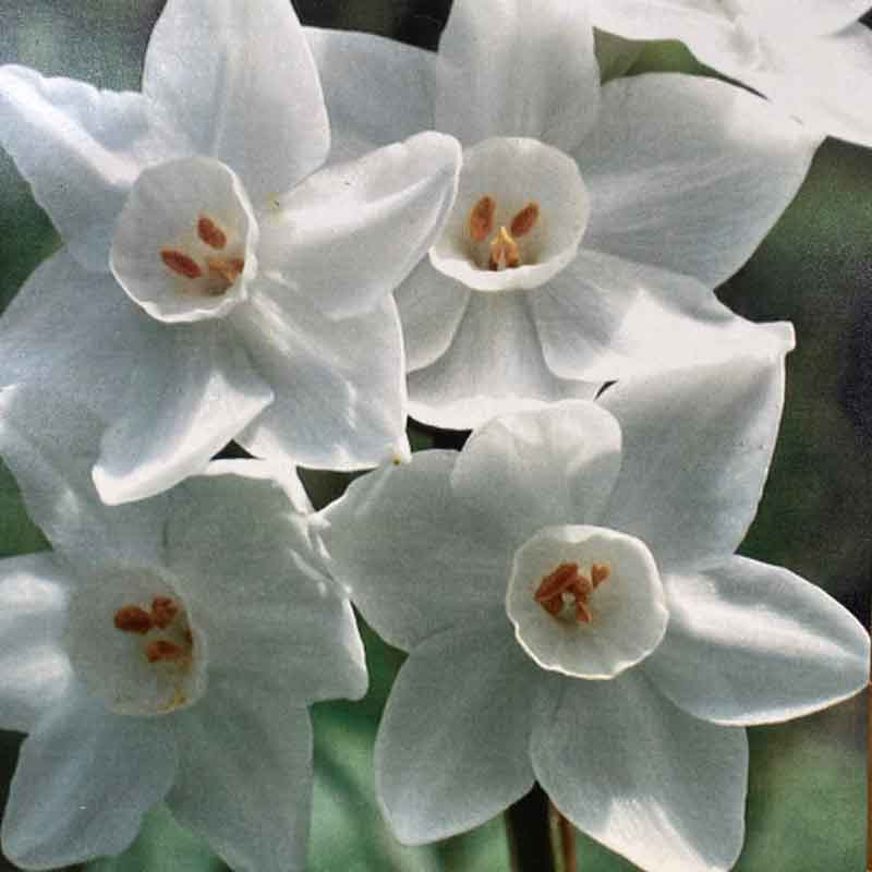 Picture of Narcissus Daffodil 'Paperwhite' Bulbs
