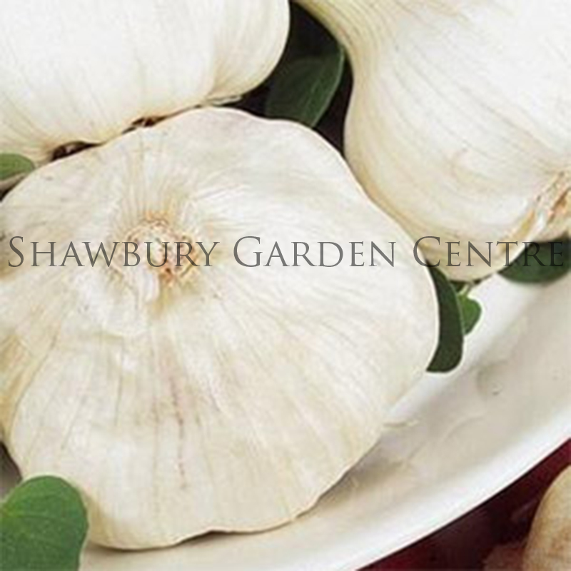 Picture of Unwins White Garlic for Spring Planting