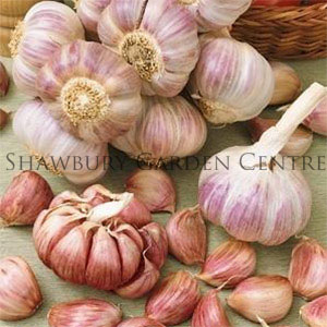 Picture of Unwins Germidour Pink Garlic for Spring Planting