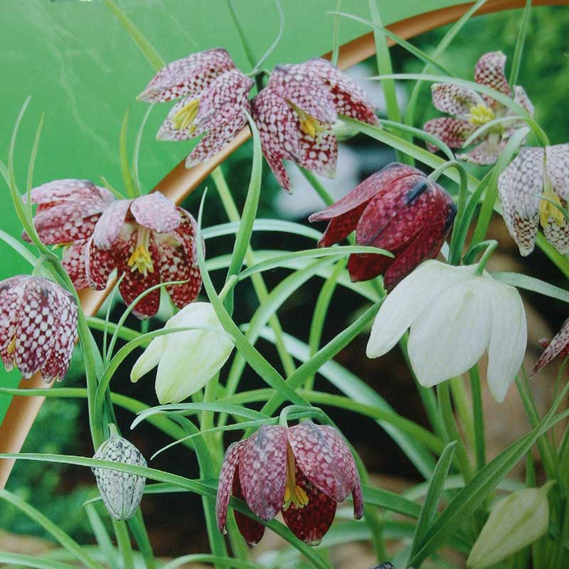 Picture of Pack of 12 Fritillaria Meleagris Bulbs