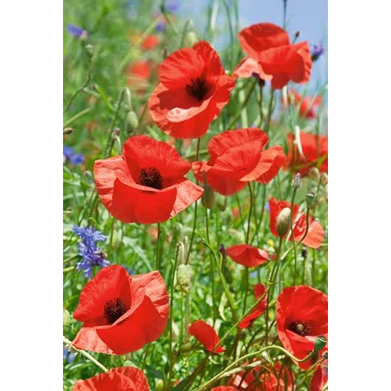 Picture of Unwins Wildflower CORN POPPY Seeds