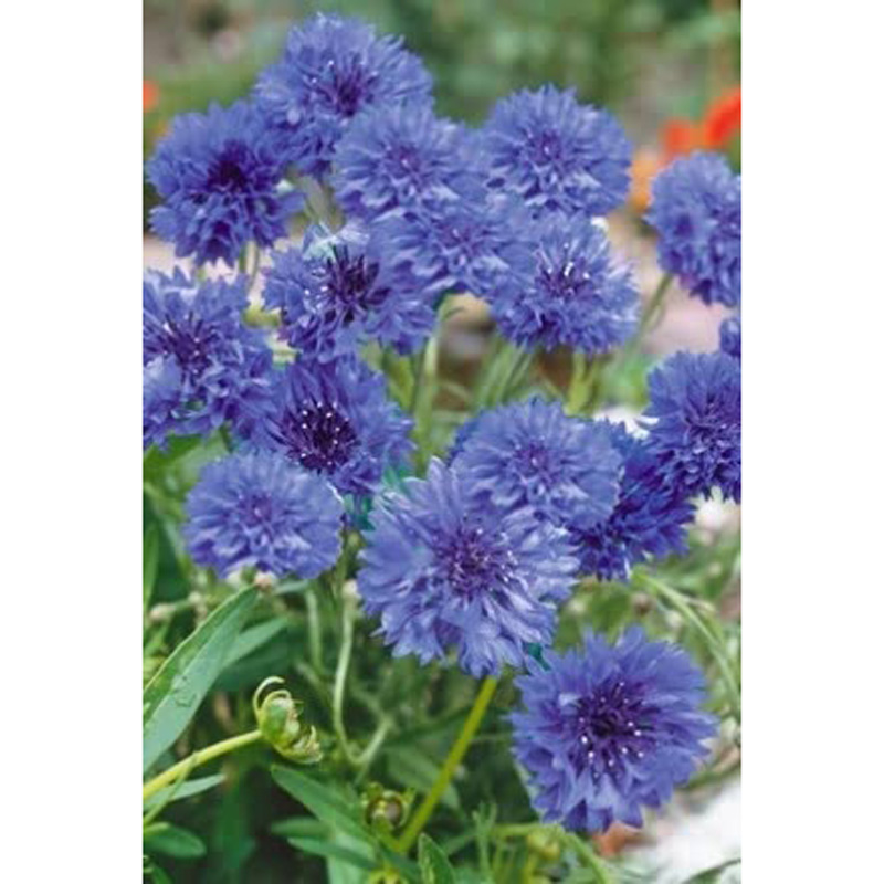 Picture of Unwins Wildflower Cornflower Seeds
