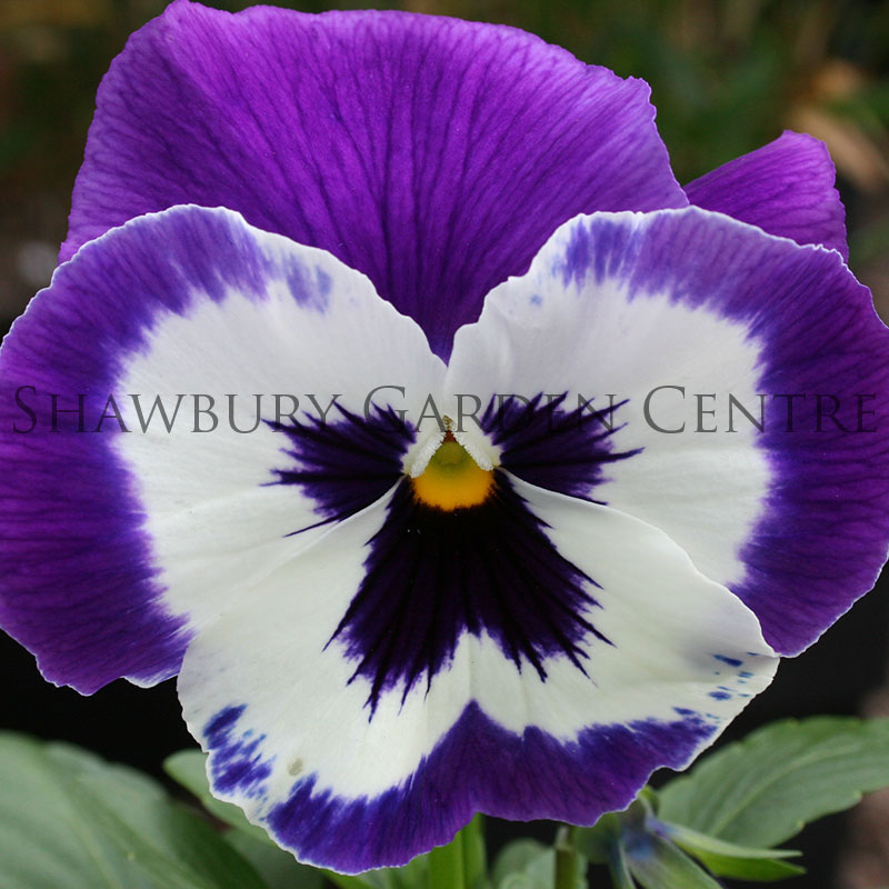 Picture of Mixed Colour Bedding Pansies