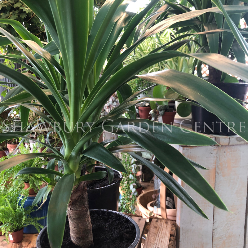 Picture of Yucca elephantipes (syn. gigantea) 'Spineless Yucca'