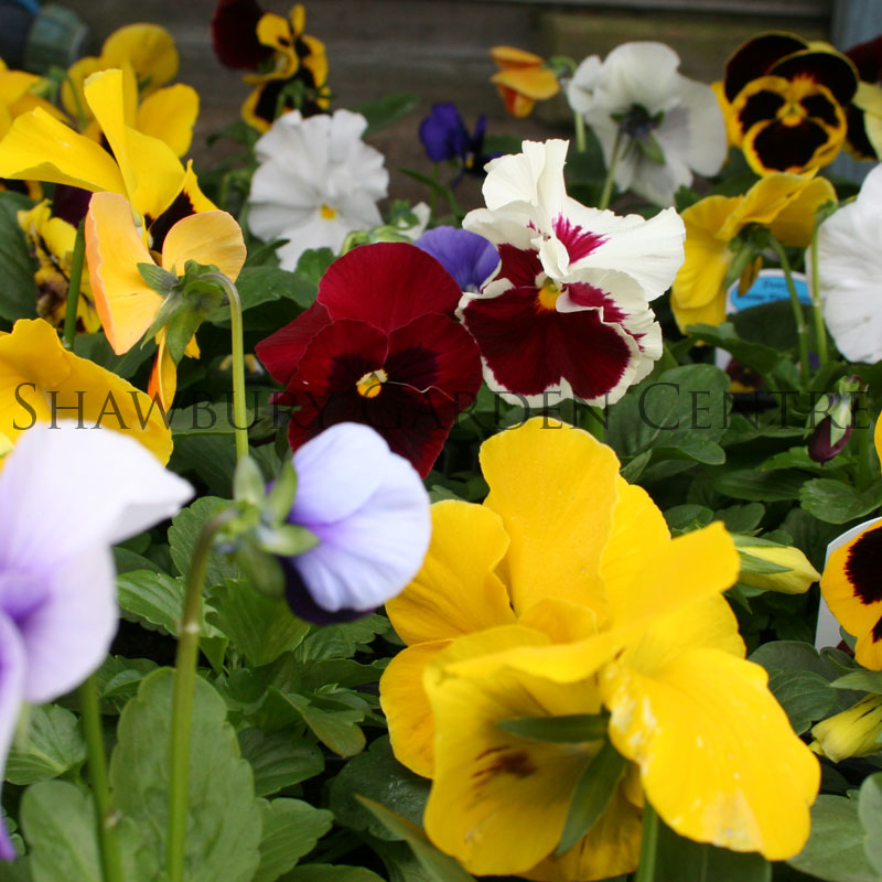 Picture of Winter Pansies