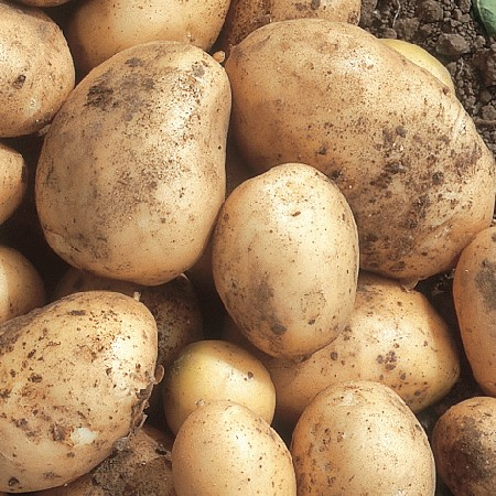 Picture of Unwins Maris Bard Seed Potatoes