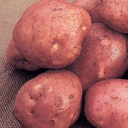 Picture of Unwins Desiree Seed Potatoes