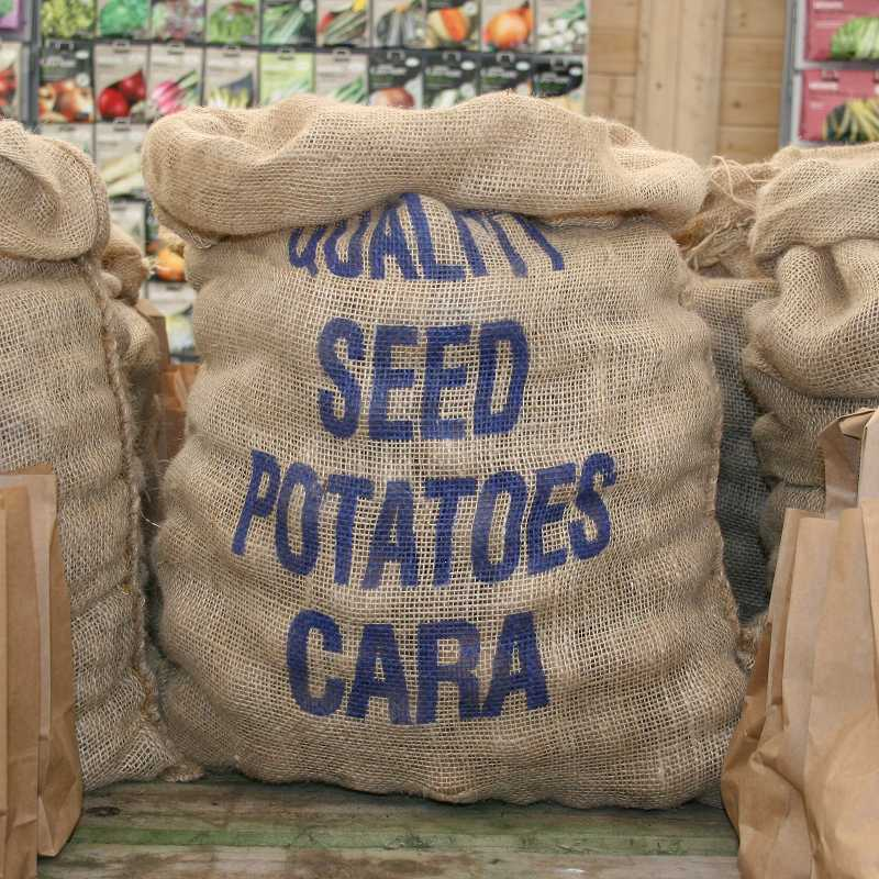 Picture of Unwins Cara Seed Potatoes